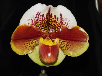 Paph. Kevin Wilson 'Yeowie'